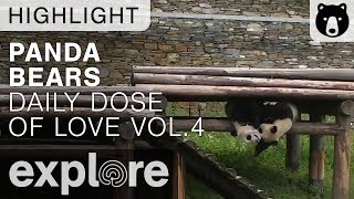 Daily Dose of Cute Panda Love Volume 4 - Live Cam Highlights
