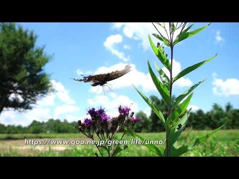 クスノキアゲハの飛翔  Papilio troirus