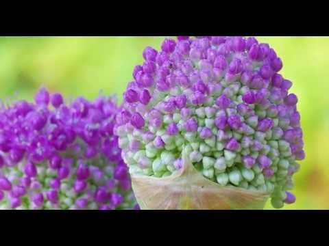 Allium im Blumengarten