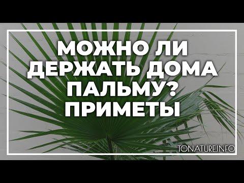 Можно ли держать дома пальму — приметы? | toNature.Info