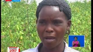 Farmers in Embu and Meru revive cotton growing in Kenya