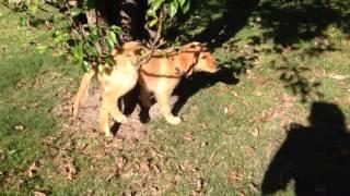 Golden retriever puppy gets caught in tree branch