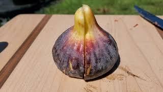 Bordissot Negra Rimada - Spectacular Fig
