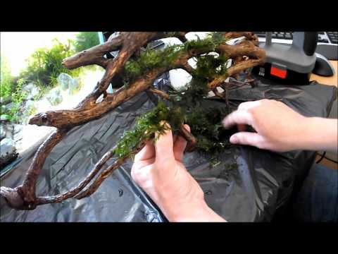 Video DIY Aquarium Moss Wall using wood