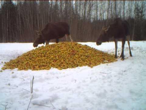 kur tad pazuda tas lielais ābols