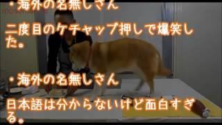 海外の反応「爆笑した」日本の天才柴犬マリのすごい演技力に世界が仰天し大絶賛!