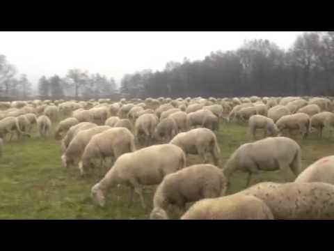 Sono arrivate le pecore, si avvicina il Natale