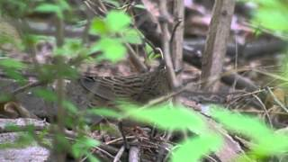 preview picture of video 'Lanceolated Warbler - Locustella lanceolata'