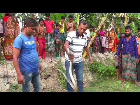পটুয়াখালী রাজ্জাক বিশ্বাস সাপ ধরার লাইভ ভিডিও নতুন পর্ব ০১ Snakes Snake Catching Razzak Biswas