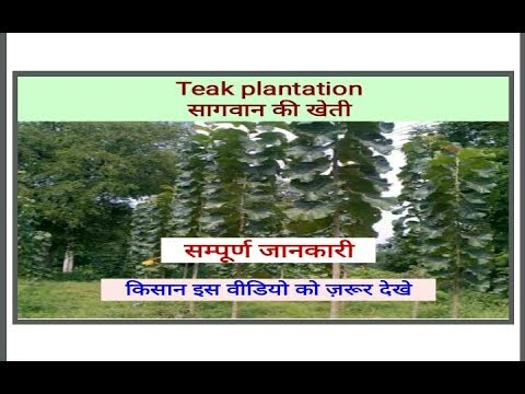 Teak plantation, saagwan ki kheti_दस साल मे ही लाखों कमायें _MoX