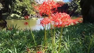 小石川後楽園の彼岸花ヒガンバナ曼珠沙華