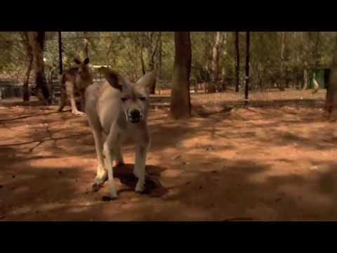 Kangaroos Jumping l Animals 4k l