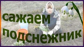 как посадить подснежник дома посадка выращивание подснежника огород сад розарий цветник