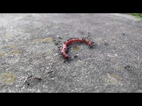 Gawin ang mga worm