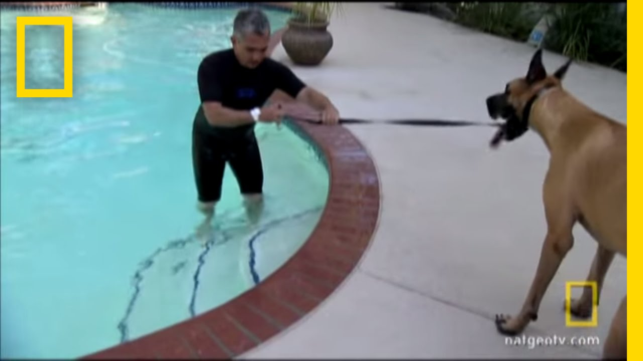 Great Dane Takes the Plunge | National Geographic thumbnail