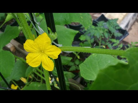 , title : 'Tips And Tricks For Healthy Cucumber Plants, Pruning, Feeding, Trellising