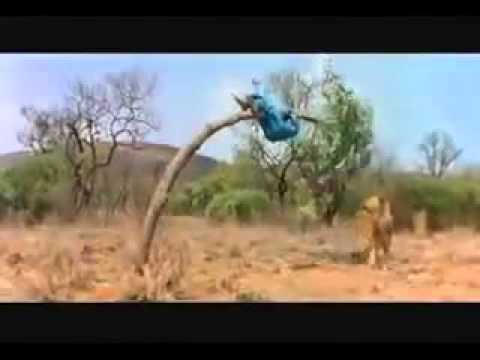 Lion Attacking Funny Video In Twi