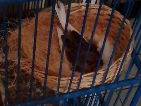 Video Cara Ternak Burung Kenari yang muda