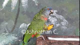 Feeding Saint Lucia Parrot