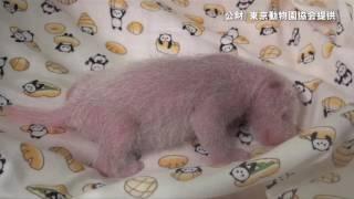 鳴き声が可愛らしい上野動物園がパンダの赤ちゃん動画を公開
