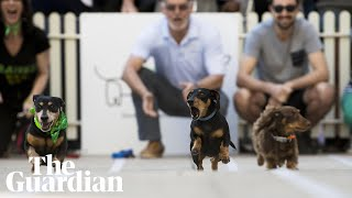 Sausage dogs unleashed in Running of the Wieners race