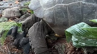 video: Tortoises can turn meat-eating hunters – but they're too slow to catch much