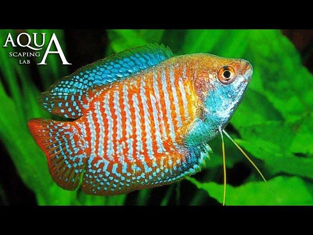 Aquascaping Lab - Trichogaster, Dwarf Gourami Nano, Colisa description / scheda tecnica
