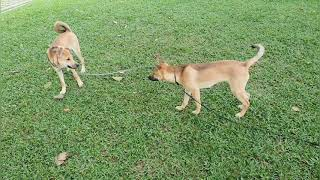Bruno and Oreo-  Morning walk with Dogs in Singapore