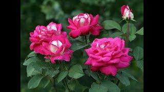 Розы для начинающих цветоводов. Посадка, размножение черенками.