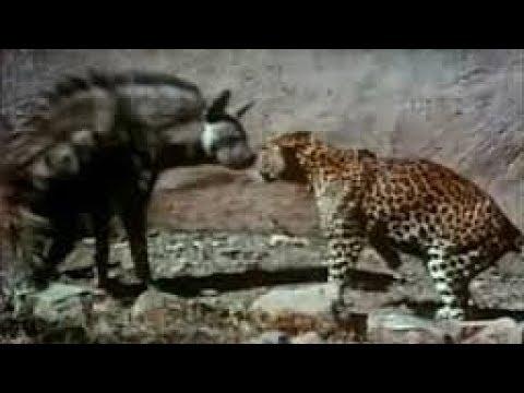 Most Amazing Wild Animals Attacks Eagle Attack Leopard vs