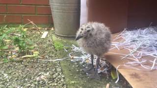 40 Days With a Baby Seagull