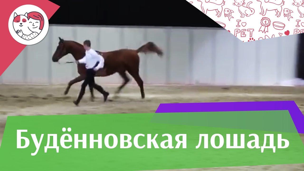 ЛОШАДИ Будённовская порода ЭКВИРОС 2016 на ilikepet