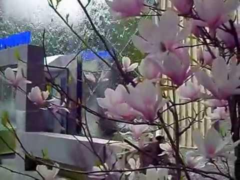 Ялта, Магнолия цветёт 17.04.2012