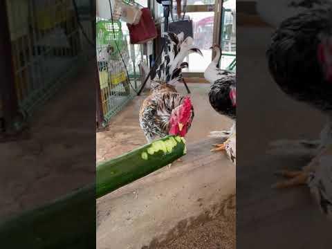 【池田動物園公式】チャボにキュウリを与えました☆
