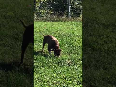 Reddie, an adoptable Pit Bull Terrier in Bedford, IN