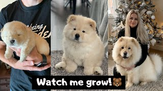 MIMI THE CHOW - 3 WEEKS TO 8 MONTHS OLD!