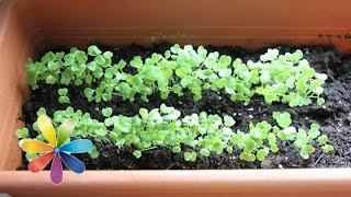 Смотреть онлайн Как вырастить на подоконнике пряные травы