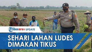 Puluhan Hektare Lahan Jagung di Lampung Ludes Dimakan Tikus dalam Semalam, Petani Gagal Panen