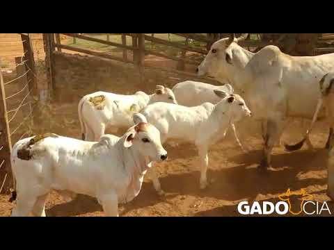 Lote0226 - 9 Vacas Paridas Nelore Coml. em Abadia de Goiás - GO