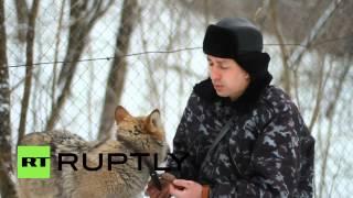 Russia: Meet Hanti the domesticated WOLF