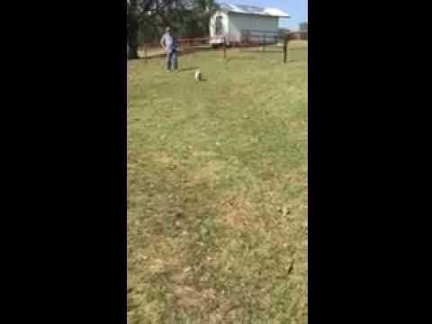Susie - Australian Shepherd puppy for sale