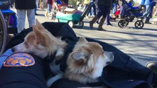 2 Pomskies, Zeus and Zoey!  Pomsky Off Leash Dog Training | Pomsky Dog Trainers