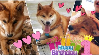 Happy 1st birthday Mila Dango & Cooper / Shiba Inu 1 year old