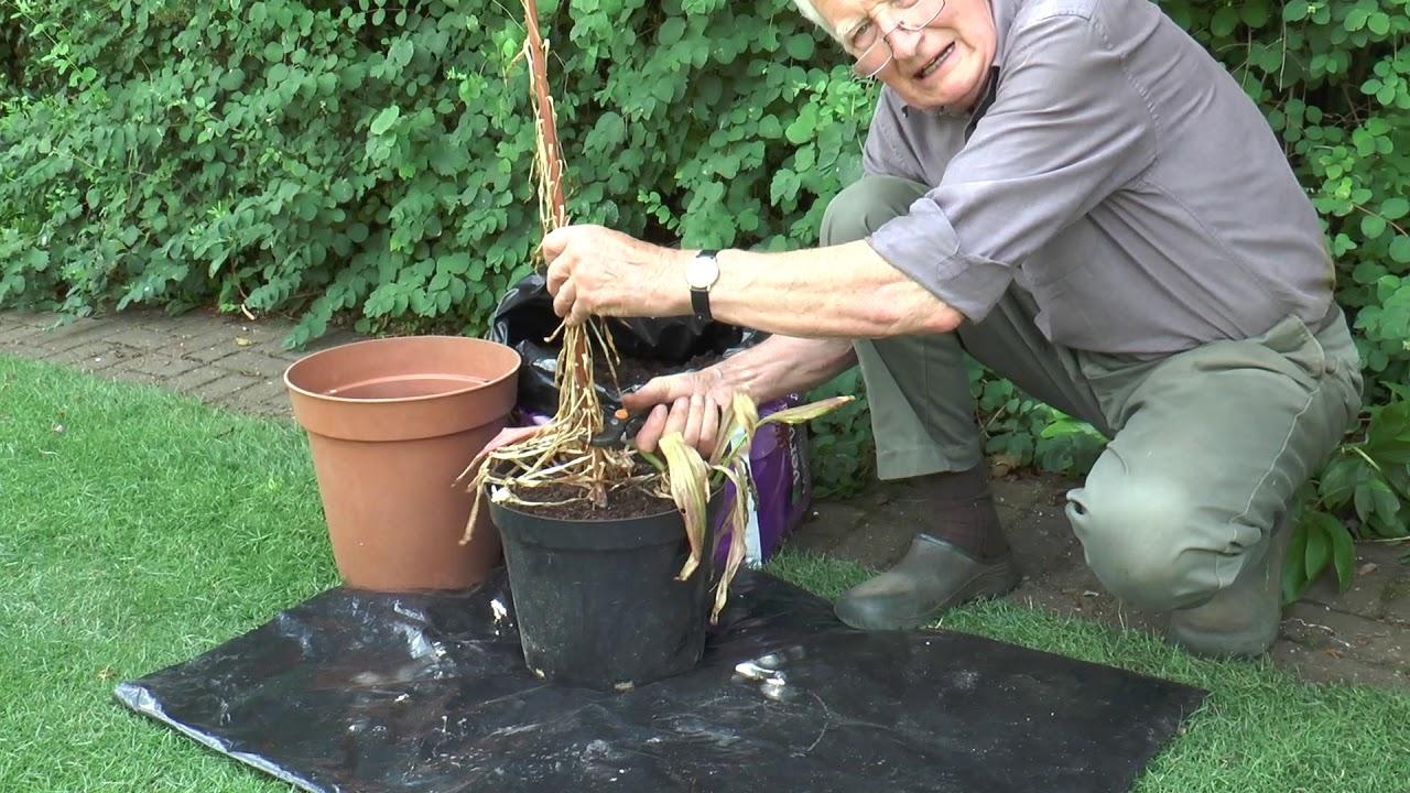 Potting on lilies