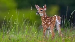 The Green Leaves of Summer  - Ennio Morricone  -  Зеленые листья лета