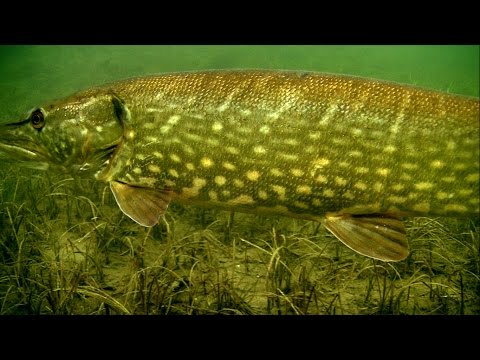 Cannibal pike full video: underwater attacks on fishing lures fo