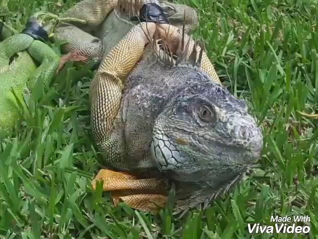 How to catch Iguanas? Hunting in South Florida