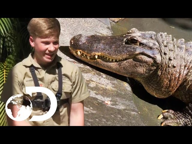 Robert Irwin Is Preparing For His First Solo Crocodile Show | Crikey! It's The Irwins