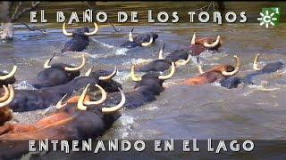 Espectacular Baño De Los Toros En El Lago, Vistas áereas De Dron | Toros Desde Andalucía