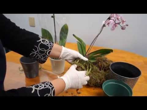 , title : 'Orchid Care Trick : How to Save Your Potted Orchid From Dying